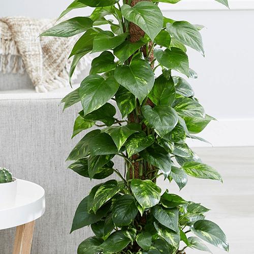 Cây trầu bà là cây dây leo đặc biệt thích hợp trồng trong nhà
