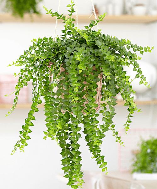Cây lan tim là cây dây leo thích hợp trồng trong nhà