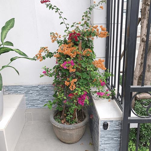 Cây hoa giấy thích hợp trang trí ban công