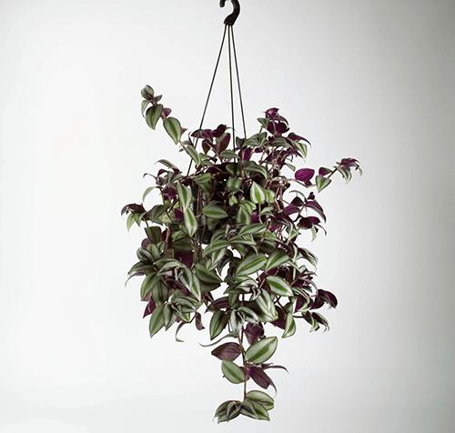 Cây thài lài sọc là cây dây leo thích hợp trồng trong nhà