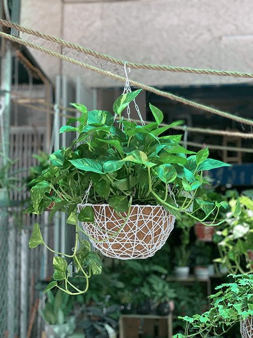 Cây vạn niên thanh là cây dây leo thích hợp trồng trong nhà
