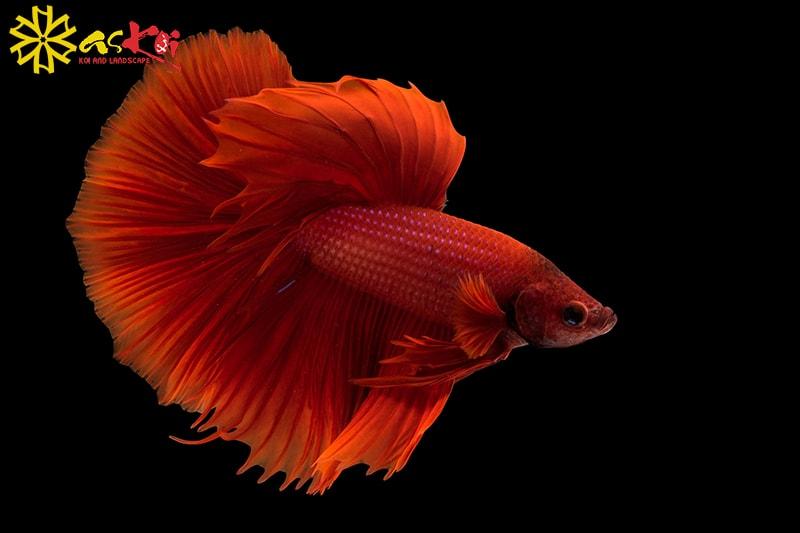 Cá chọi với nhiều màu sắc tuyệt đẹp