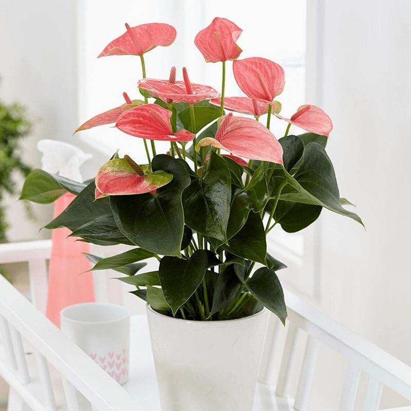 Hoa hồng môn là một lựa chọn hoàn hảo cho người mệnh Thổ