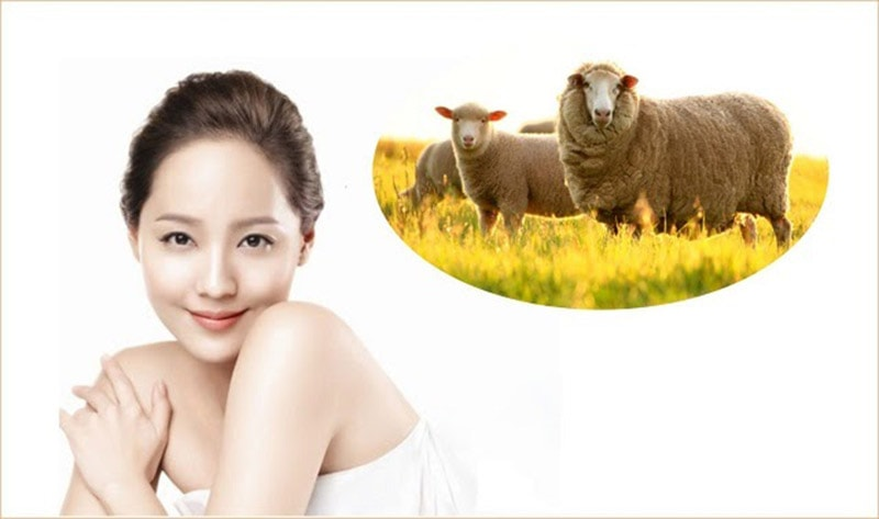 Nhau thai cừu là món quà tuyệt vời đến từ thiên nhiên